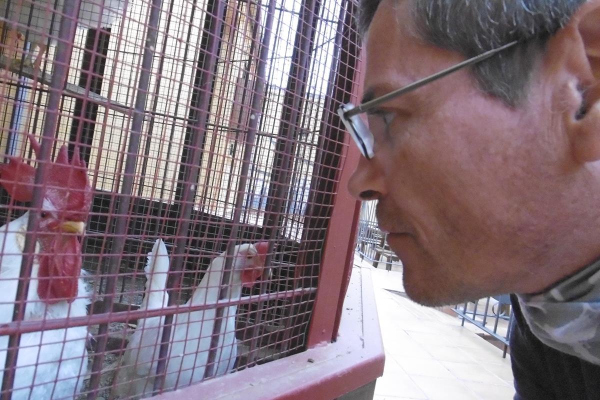 Die berühmten Hühner von SantaDomingo